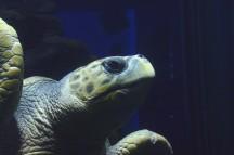 Osaka Turtle