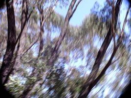Eucalypt Vortex