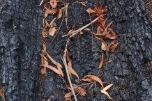 Burnt Leaves on Charcoal